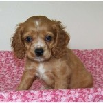 Cocker spaniel puppy, puppy on a blanket