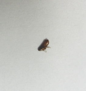 An adult flea. They are generally 3-4 mm long.